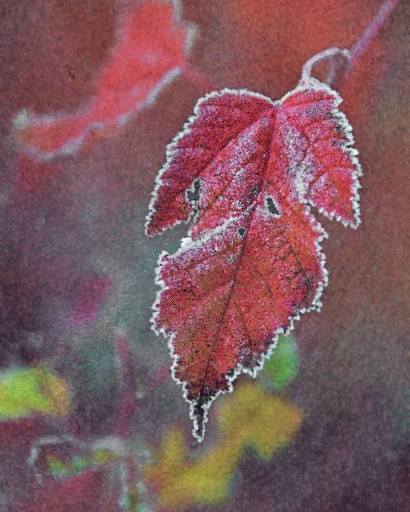 Leaf Poster featuring the photograph Frosted by Odd Jeppesen