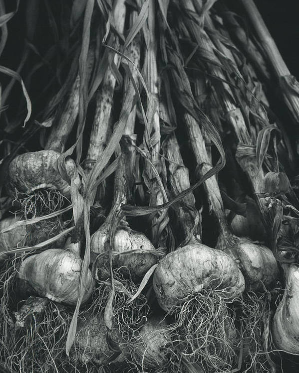 Garlic Poster featuring the photograph Garlic Bulbs by Alan Sirulnikoff