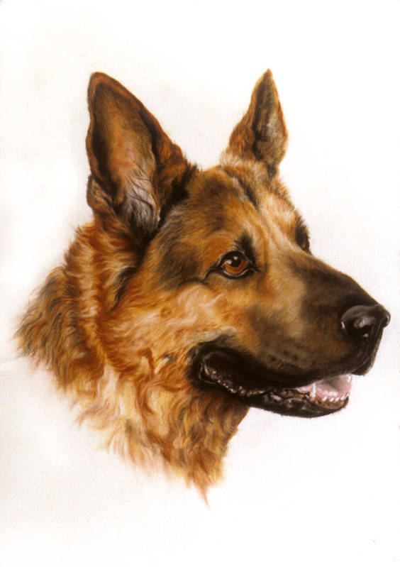 Dog Poster featuring the pastel German Sheppard by Patricia Ivy