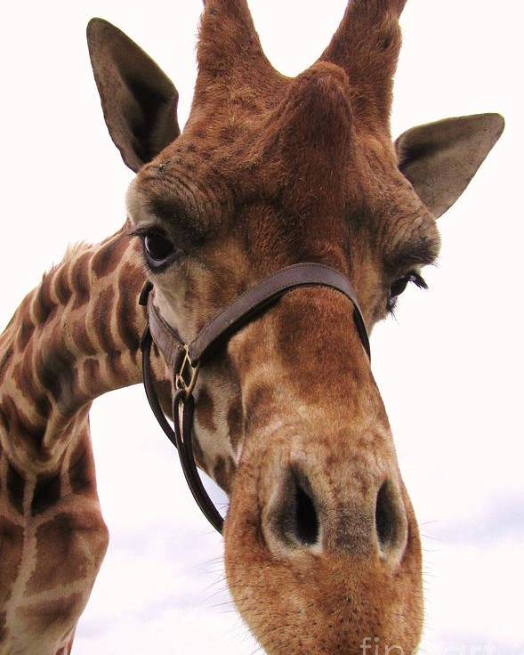 Giraffe Poster featuring the photograph Giraffe Big Nose by Jeepee Aero