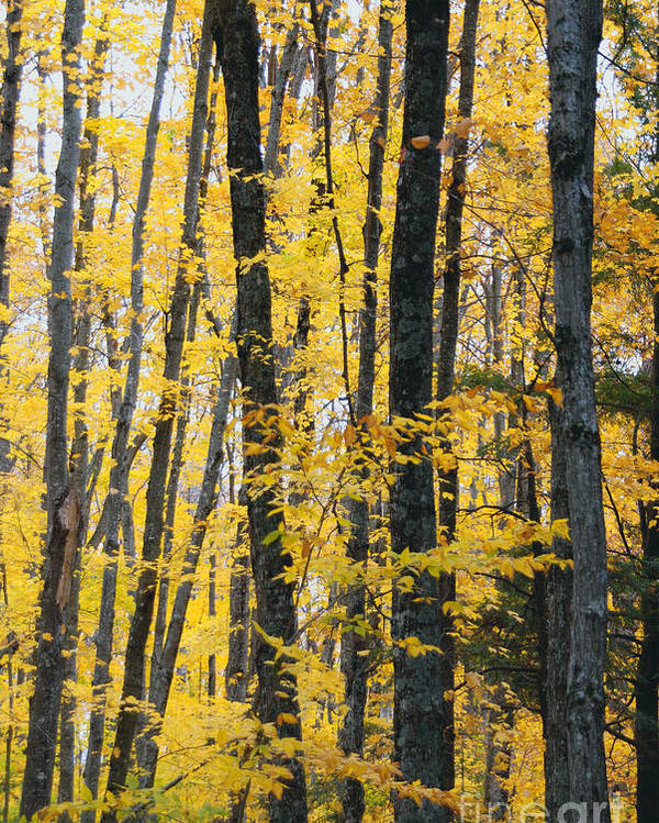 Fall Colors Poster featuring the photograph Golden Forest by Optical Playground By MP Ray