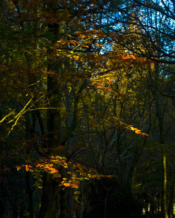 Woodland In Autum Poster featuring the photograph Golden Woodland by Peter Jenkins