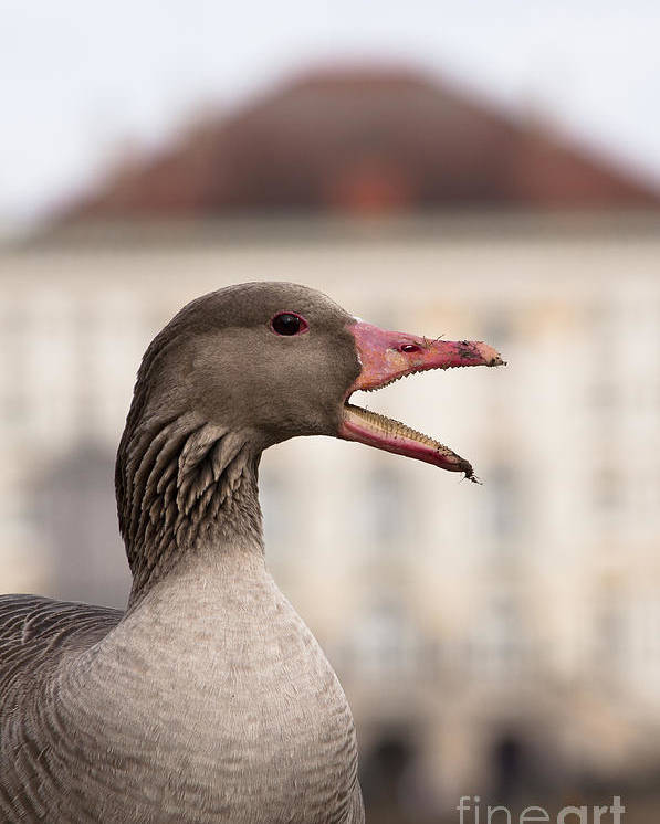 Bavaria Poster featuring the photograph Goose At Nymphenburg Palace by Andrew Michael