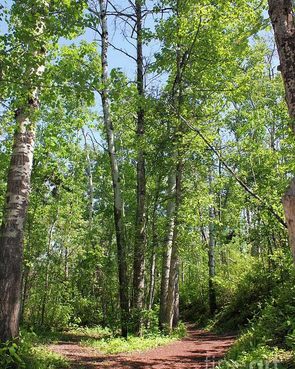 Trees Poster featuring the photograph Graceful Aspen Poplars by Jim Sauchyn