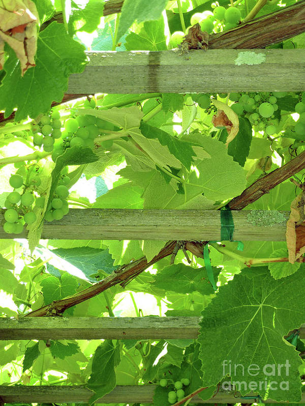 Grape Arbor Poster featuring the photograph Grape Arbor by Methune Hively