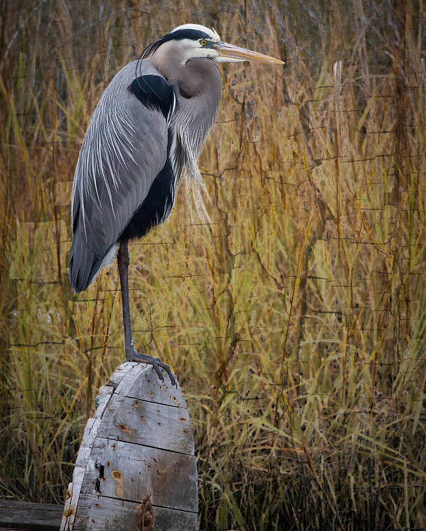 Bird Poster featuring the photograph Great Blue Heron On Spool by Debra and Dave Vanderlaan