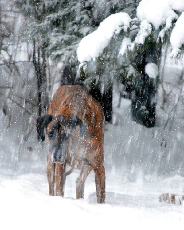 Great Dane Rufus Poster featuring the photograph Great Dane Rufus Looking Into A Blizzard by Lila Fisher-Wenzel