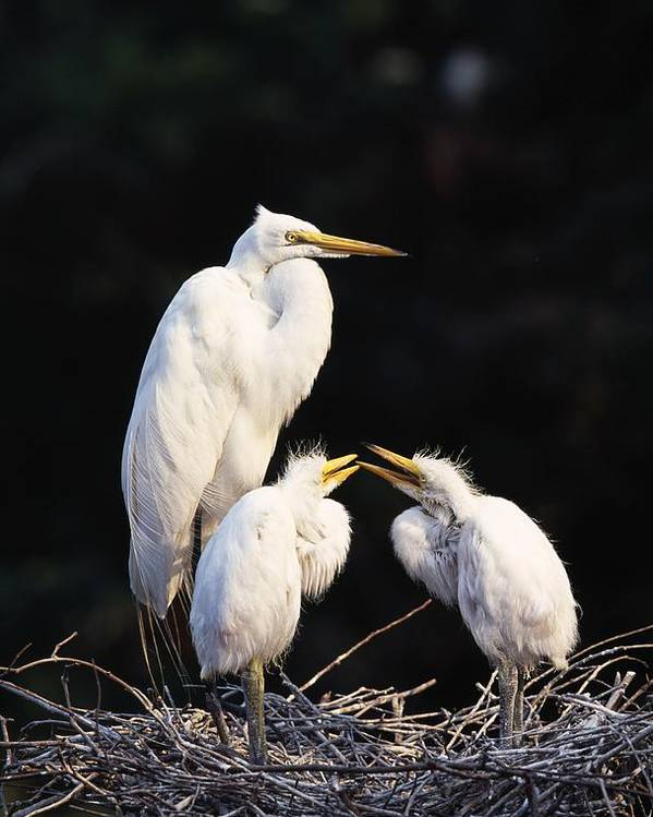 Animal Poster featuring the photograph Great Egret In Nest With Young by Natural Selection David Ponton