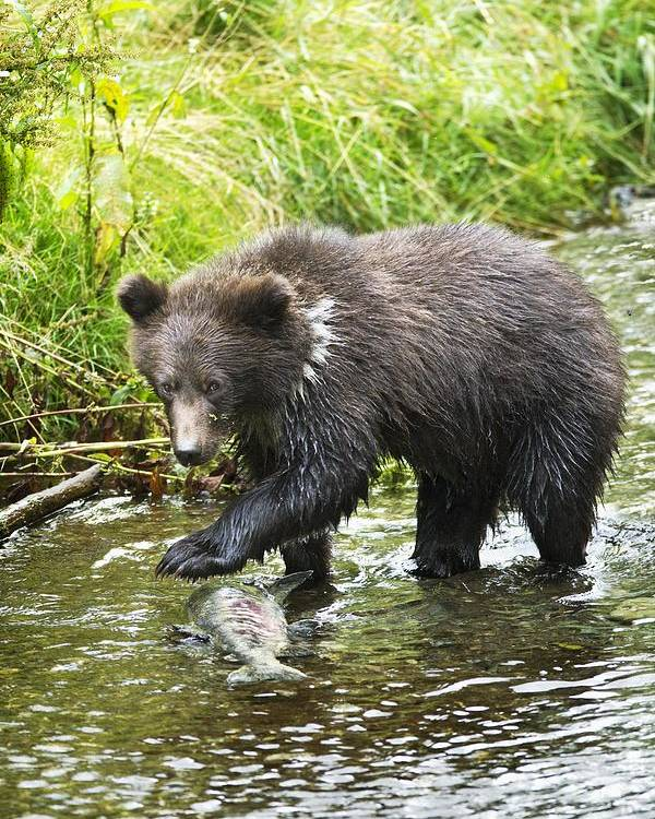 Alaska Poster featuring the photograph Grizzly Cub Catching Fish In Fish Creek by Richard Wear