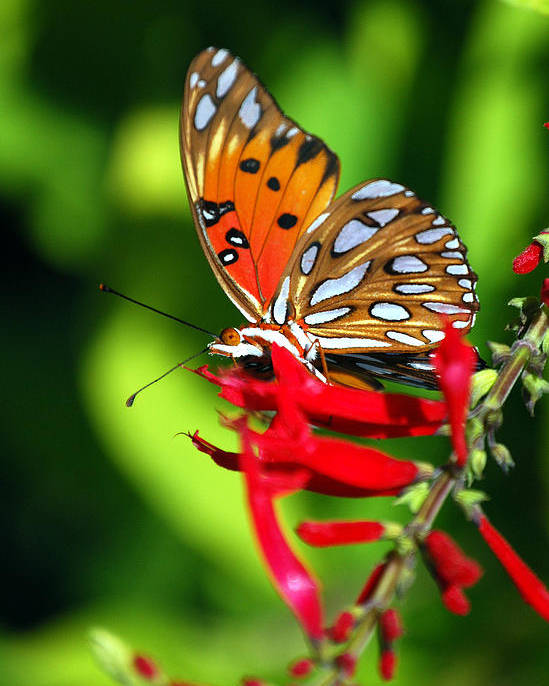 Butterfly Poster featuring the photograph Gulf Fritillary by Skip Willits