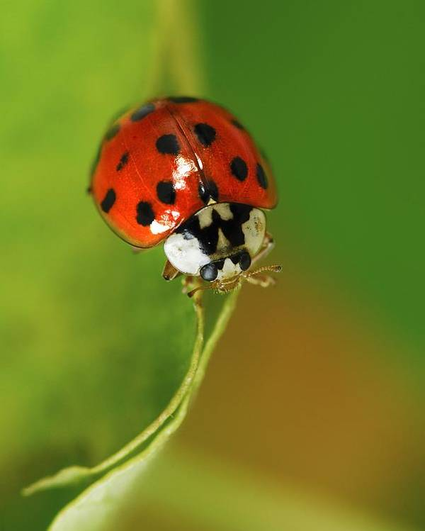 Harlequin Ladybird Poster featuring the photograph Harlequin Ladybird by Colin Varndell