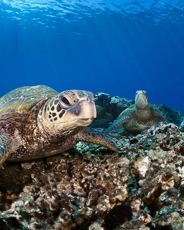 Amazing Poster featuring the photograph Hawaiian Turtle On Pacific Reef by Dave Fleetham
