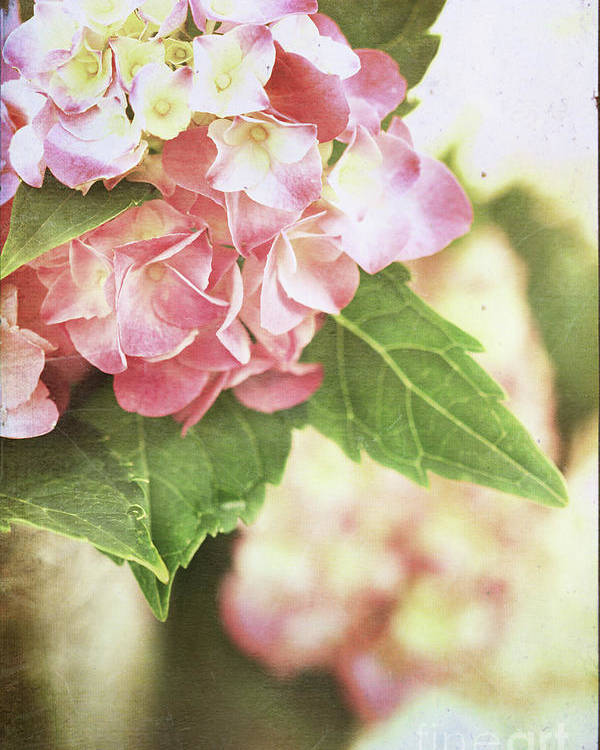 Hydrangea Poster featuring the photograph Hydrangeas by Stephanie Frey
