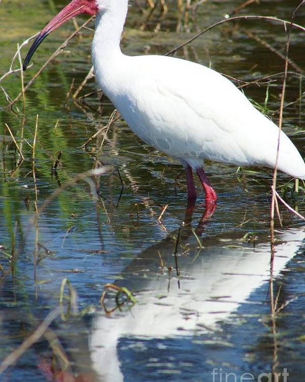 American White Ibis Poster featuring the photograph Ibis At Local Pond 2 by Lynda Dawson-Youngclaus