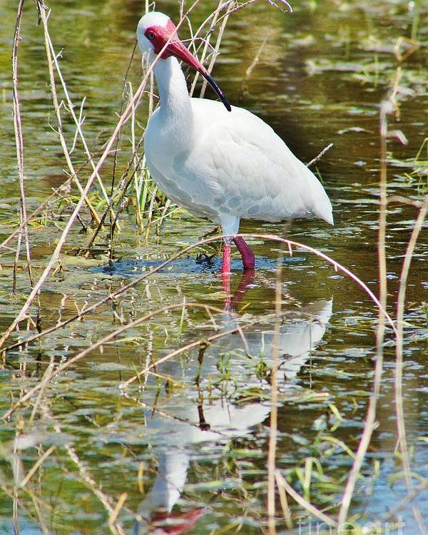 American White Ibis Poster featuring the photograph Ibis At Local Pond 3 by Lynda Dawson-Youngclaus