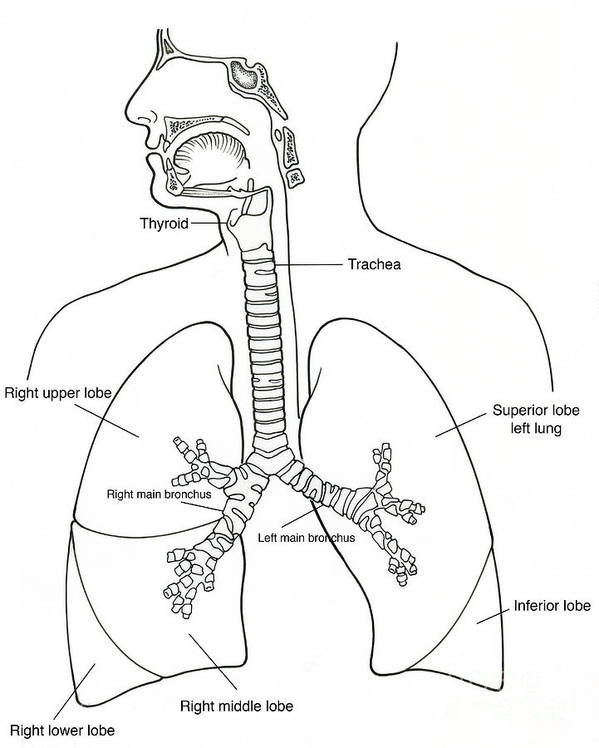 illustration of respiratory system poster by science source