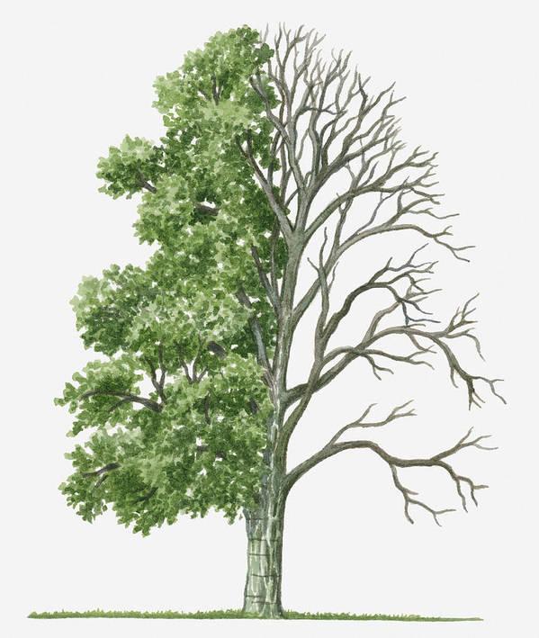 Illustration Showing Shape Of Deciduous Acer Davidii Pere David S