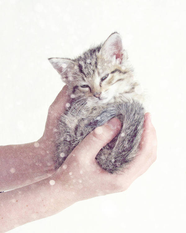 Kitten Poster featuring the photograph In Safe Hands by Amy Tyler