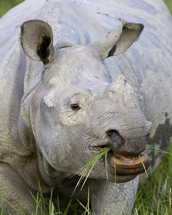 00451346 Poster featuring the photograph Indian Rhinoceros Grazing Kaziranga by Suzi Eszterhas