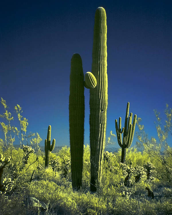 Infrared Poster featuring the photograph Infrared Saguaro 1 by Jim Painter