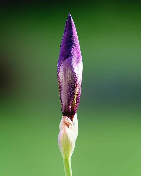 Fine Art Prints Poster featuring the photograph Iris 12 by Nathan Larson