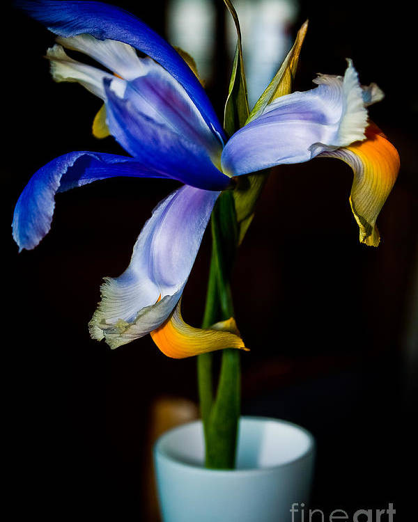 Iris Poster featuring the photograph Iris by Jill Smith