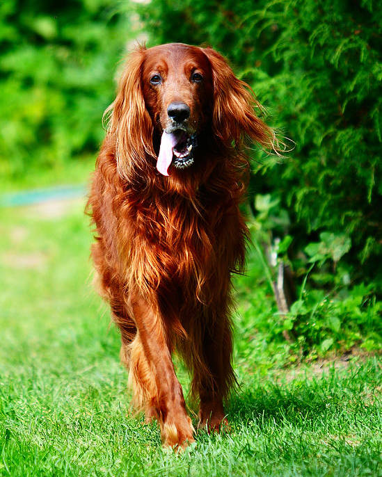 Dog Poster featuring the photograph Irish Setter V by Jenny Rainbow