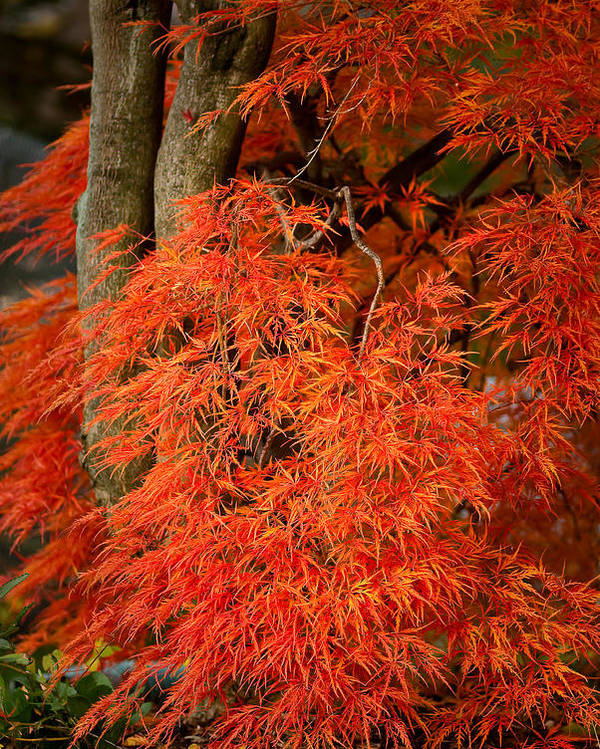 Acer Dissectum Poster featuring the photograph Japanese Maple In Autumn by Onyonet Photo Studios