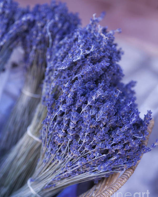Lavender Bunches Poster featuring the photograph Lavender Bunches In Provence by Paul Grand