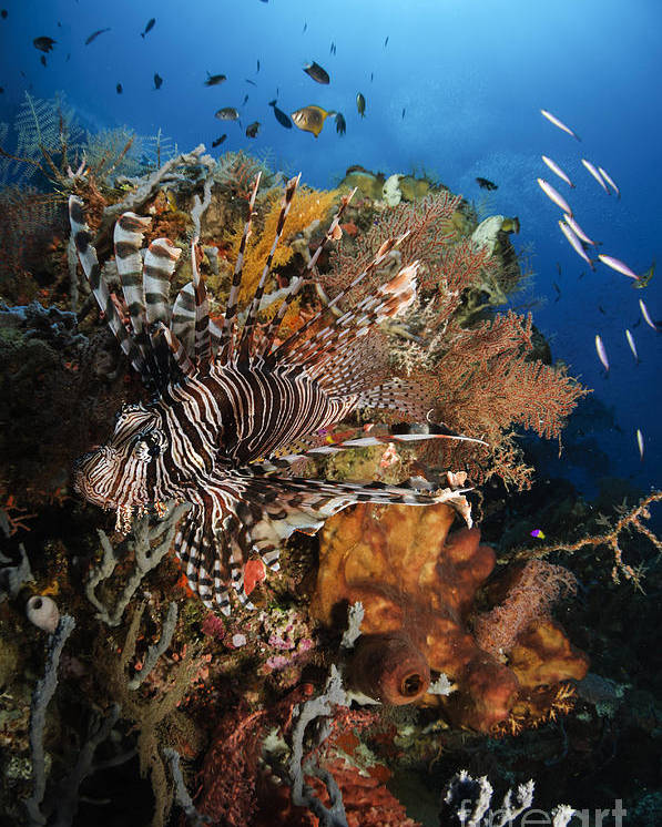 Lionfish Poster featuring the photograph Lionfish, Indonesia by Todd Winner