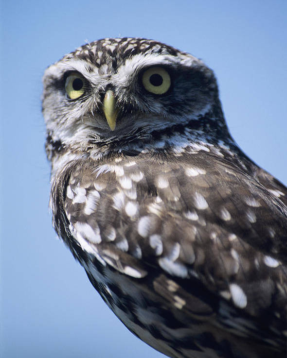 Athene Noctua Poster featuring the photograph Little Owl by David Aubrey