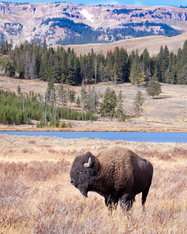 Buffalo Poster featuring the digital art Lone Buffalo by Cindy Singleton
