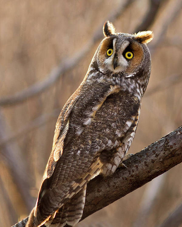 Animal Poster featuring the photograph Long-eared Owl by Mircea Costina Photography