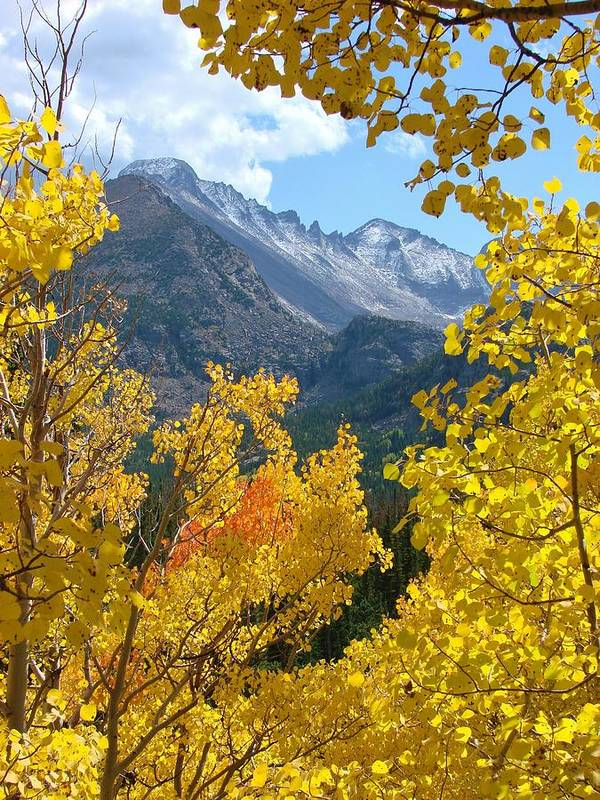 Aspen Poster featuring the photograph Long's Peak And The Keyboard Of The Winds Amidst Aspen Gold by Margaret Bobb