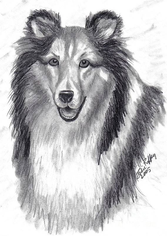 Collie Poster featuring the drawing Looks Like Lassie by Julie Brugh Riffey