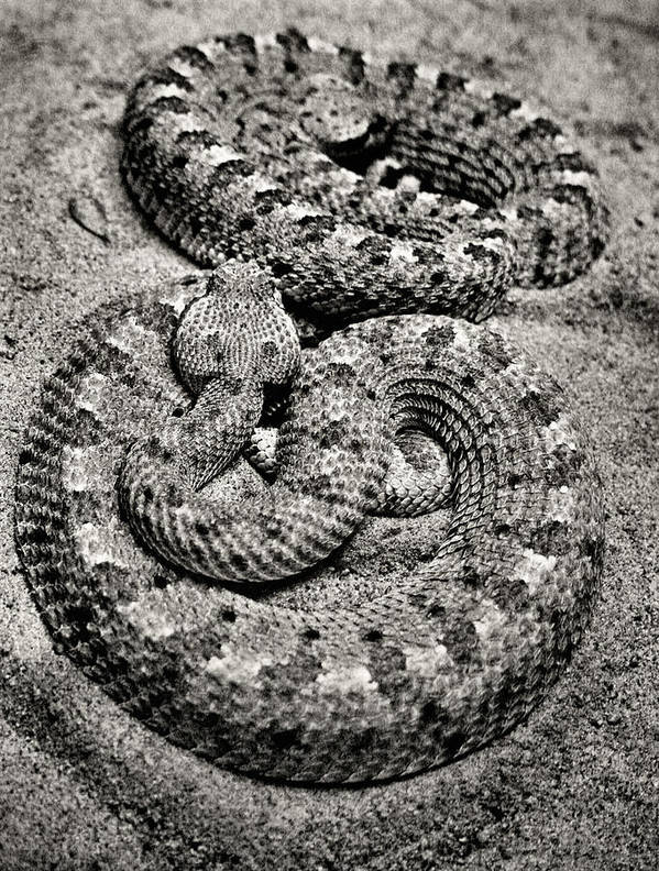 Snakes Poster featuring the photograph Love At First Bite by Sally Bauer