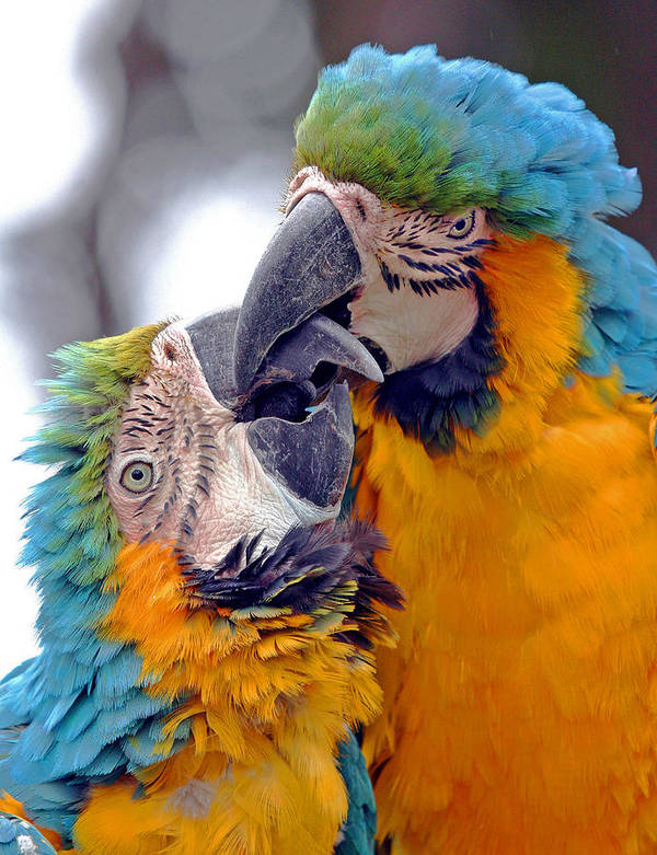 Adorable Amazon America Affectionate Affection Animal Avian Beautiful Bird Blue Care Caress Caribbean Color Colorful Couple Cute Endangered Forest Glue Intelligent Intimacy Jungle Kiss Kissing Lovable Love Lover Macaw Mexico Nature Pair Parrot Pet Protected Relationship Romance Romantic Smart Tenderness Threatened Tropical Valentine Wild Wildlife Yellow Talking Poster featuring the photograph Macaw by J Michael Elliott