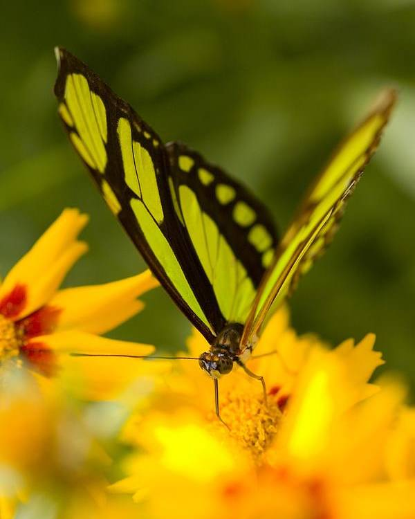 Close-up Poster featuring the photograph Malachite Butterfly On Flower by Craig Tuttle