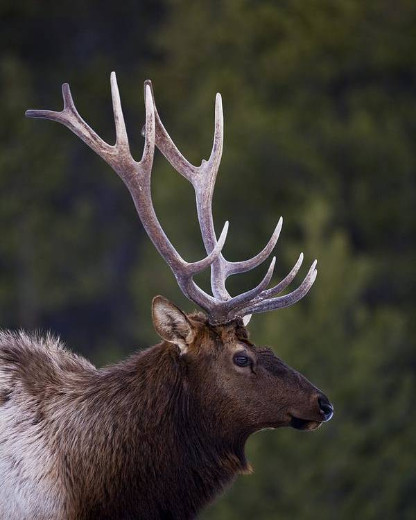 Animals Poster featuring the photograph Male Elk Cervus Canadensis by Richard Wear