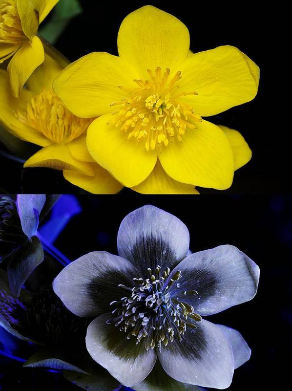 Caltha Palustris Poster featuring the photograph Marsh Marigold In Uv Light by Cordelia Molloy