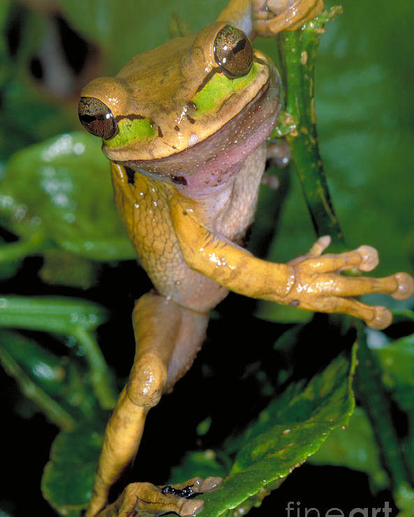 Treefrog Poster featuring the photograph Masked Treefrog by Gregory G. Dimijian