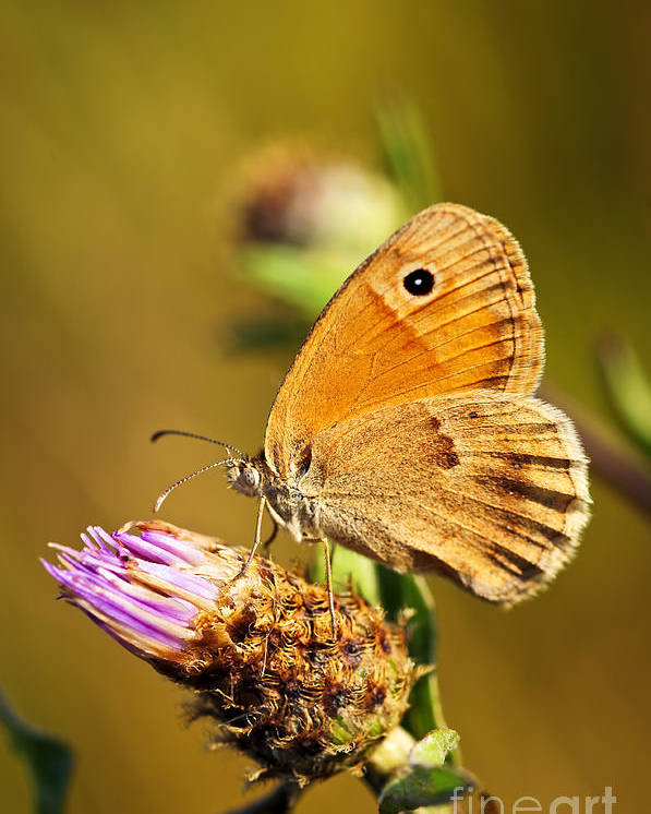 Butterfly Poster featuring the photograph Meadow Brown Butterfly by Elena Elisseeva