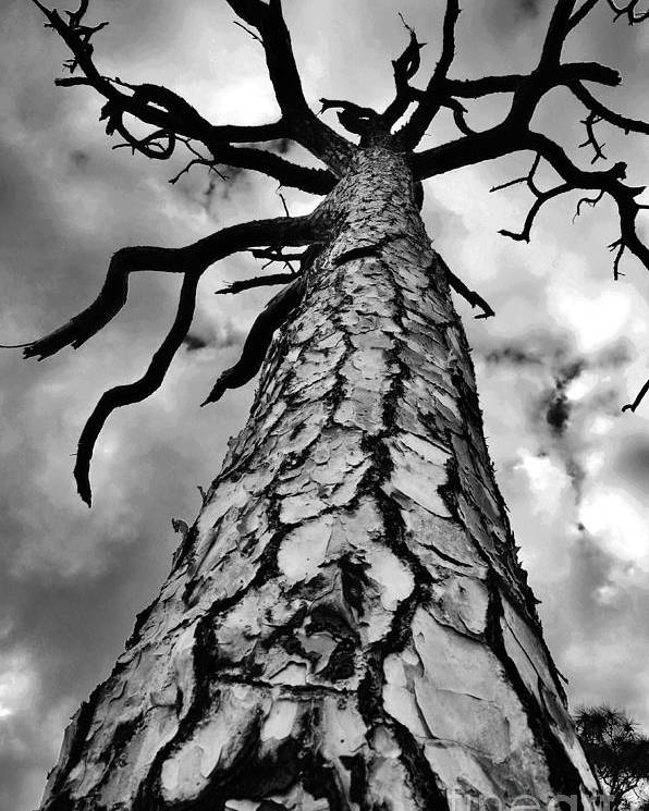 Pine Tree Poster featuring the photograph Medusa Pine by Lynda Dawson-Youngclaus
