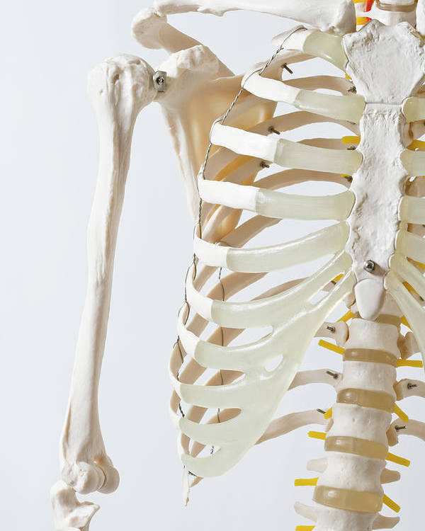 Vertical Poster featuring the photograph Midsection Of An Anatomical Skeleton Model by Rachel de Joode
