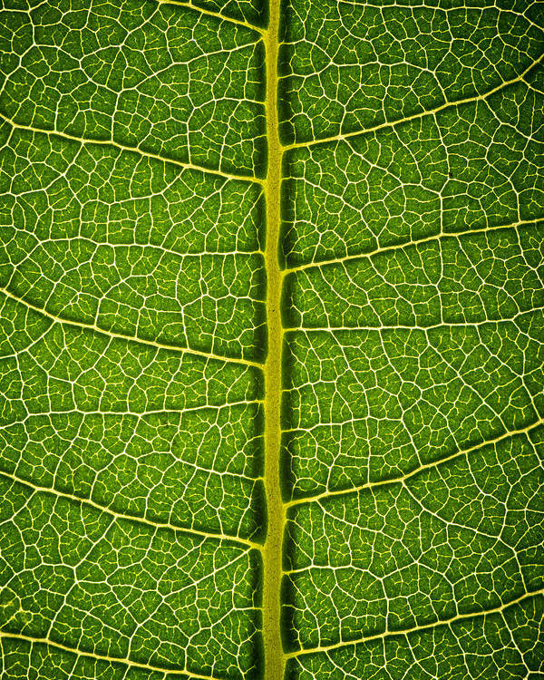 Gadomski Poster featuring the photograph Milkweed Leaf by Steve Gadomski