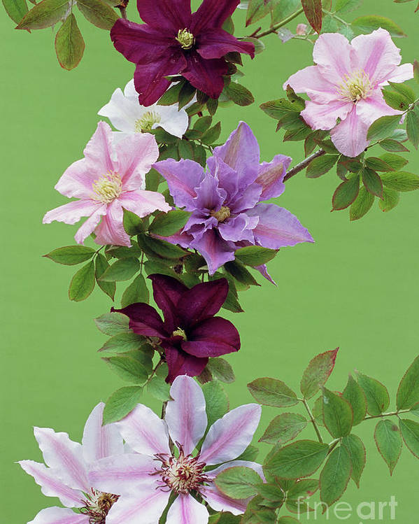 'nellie Moser' Poster featuring the photograph Mixed Clematis Flowers by Archie Young