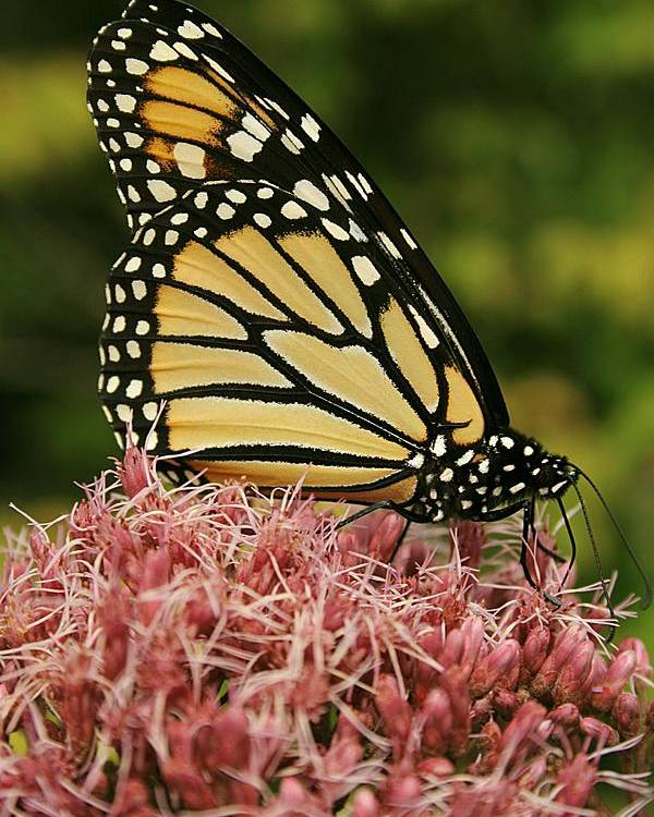 Butterfly Poster featuring the photograph Monarch 1 by Jesse Baker