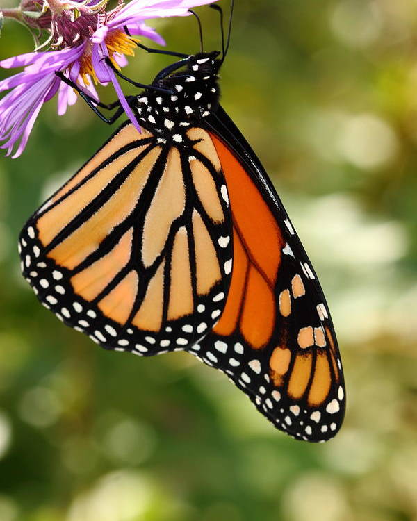 Butterfly Poster featuring the photograph Monarch Rest by Paul Slebodnick