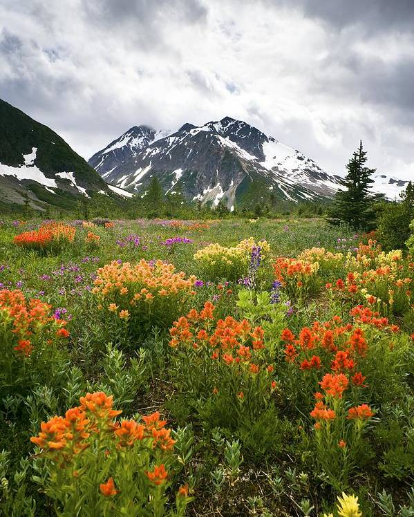 Indian Paintbrush Poster featuring the photograph Mountain Meadow, Canada by David Nunuk