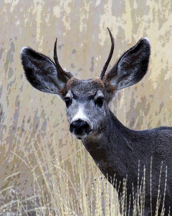 Bull Elk Poster featuring the photograph Mule Deer Buck by Steve McKinzie